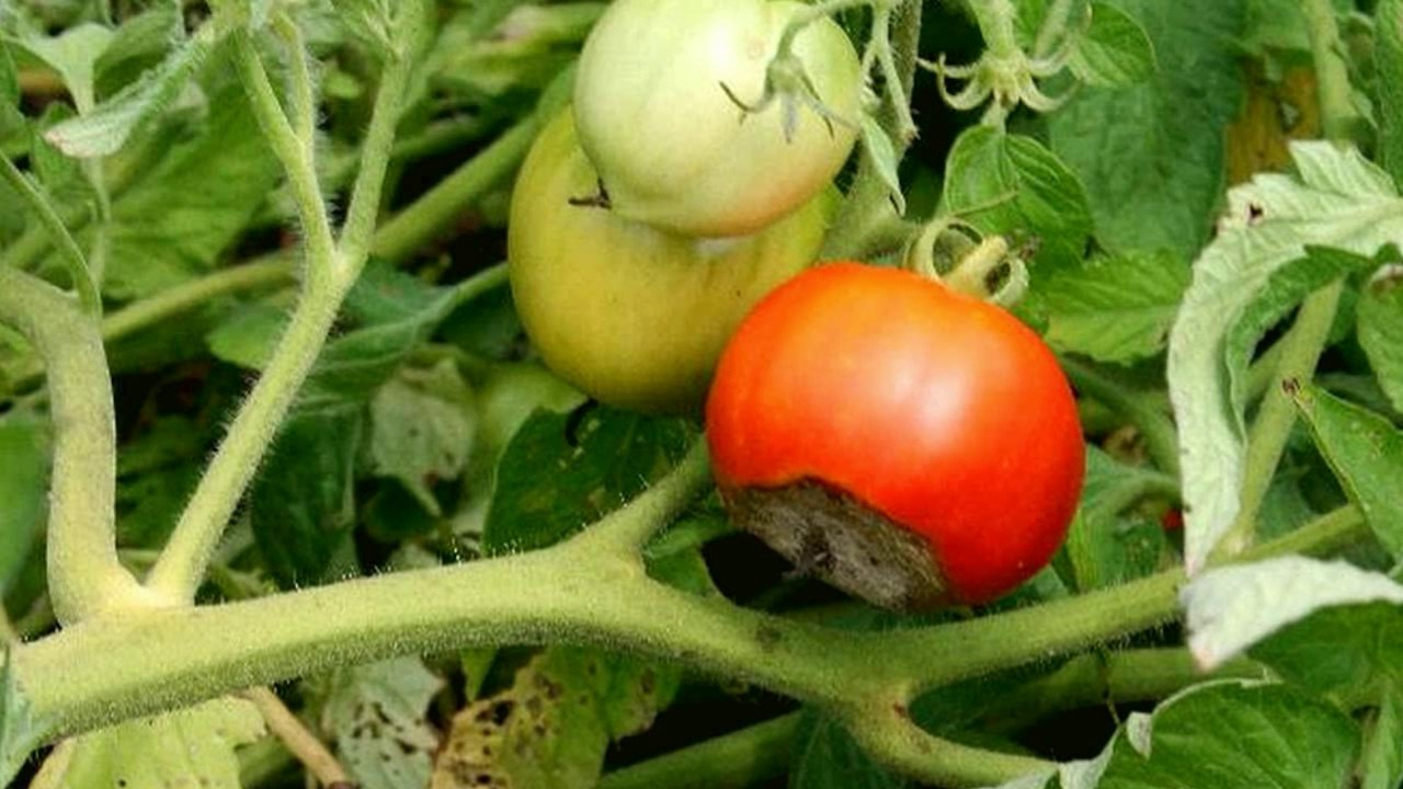 Modular Identify Plant Disease And Pests - Gardening Tips - Youtube in Set Vegetable Garden Pests Identification