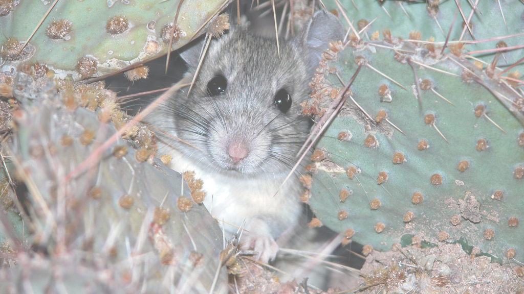 Modular Pack Rats For Dinner, Anyone? - Azpm throughout New Rats In Backyard