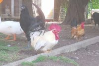 Elite Relaxing Backyard Roosters And Chickens Video – Real Farm Animals inside Unique Backyard Farm Animals