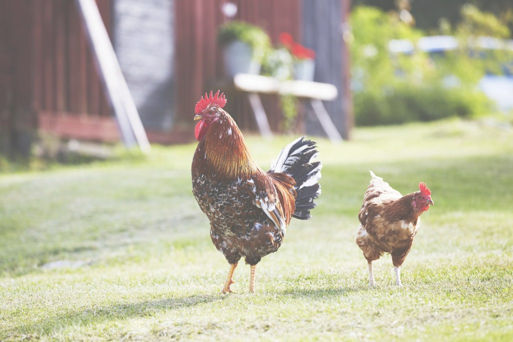 Glamorous How To Raise Backyard Chickens - Backyard Chickens 101 with regard to How To Raise Backyard Chickens