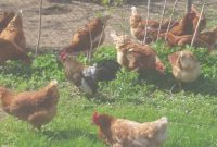 Glamorous Rooster And Chicken Noises – Rooster Crowing Sound Effect – Backyard in Backyard Farm Animals