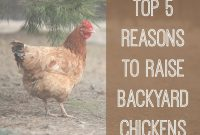 Modern Top 5 Reasons To Raise Backyard Chickens regarding Unique How To Raise Backyard Chickens