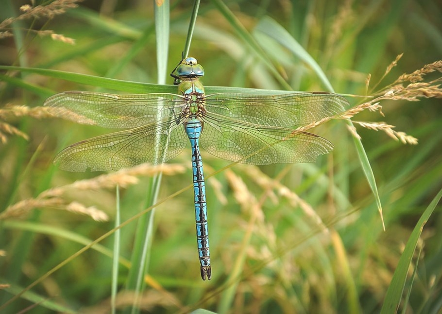 10 Astounding Things You Should Know About Dragonflies pertaining to What Do Dragonflies Eat