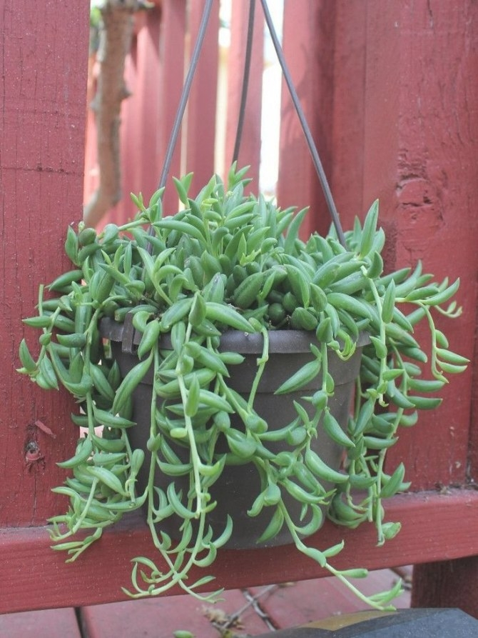 232 Best Senecio Images On Pinterest | Succulents with regard to String Of Bananas Plant