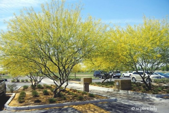69 Best Drought Resistant Trees Images On Pinterest throughout Desert Museum Palo Verde