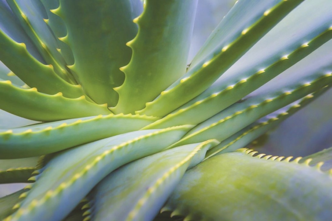 A Feng Shui Perspective On Houseplants To Attract Positive with regard to Aloe Plant Turning Brown