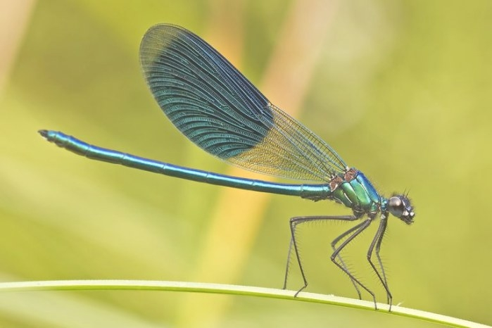 A Single Dragonfly Can Eat Hundreds Of Mosquitoes Per Day with regard to What Do Dragonflies Eat
