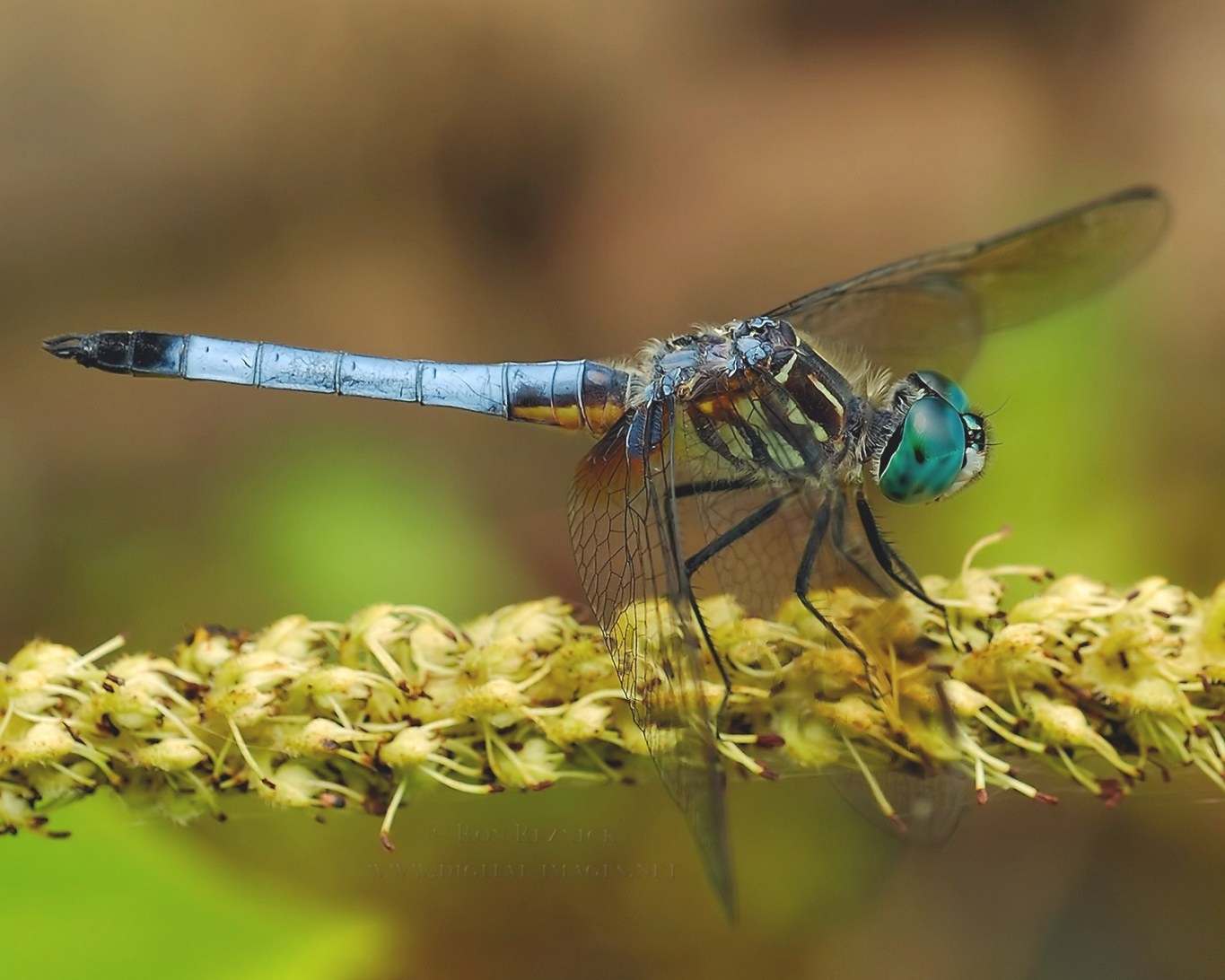 Bees, Flies And Dragonflies within What Do Dragonflies Eat