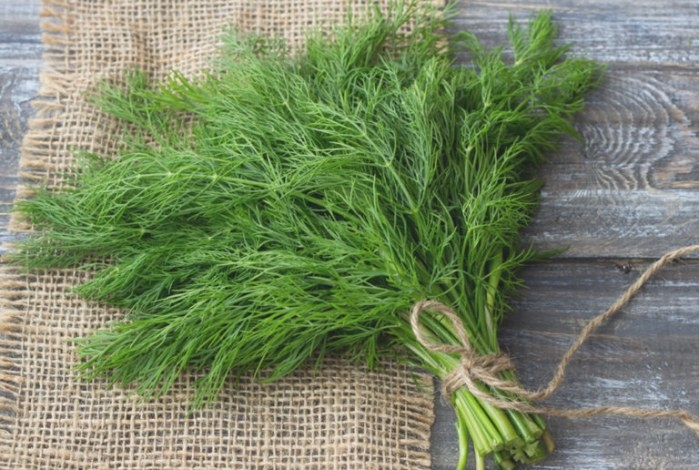 Bouquet Dill | For Making Pickles | Premium Garden Seeds in 20-20-20 Fertilizer
