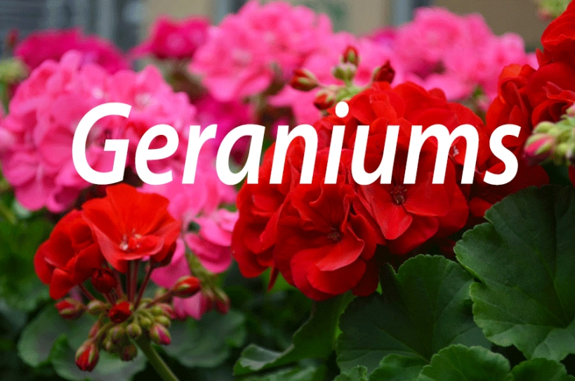 Deer Repellent Flowers - Homemade Rabbit Repellents for Do Deer Eat Geraniums