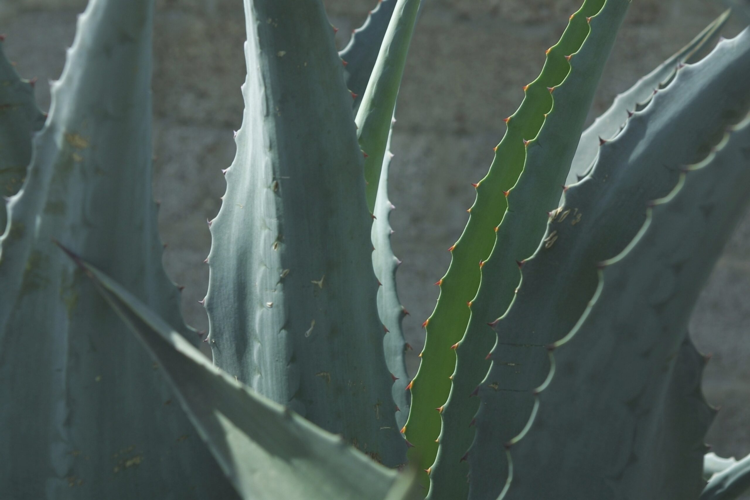 Does An Aloe Vera Plant Go In Full Sun Or Shade? | Home pertaining to Aloe Plant Turning Brown