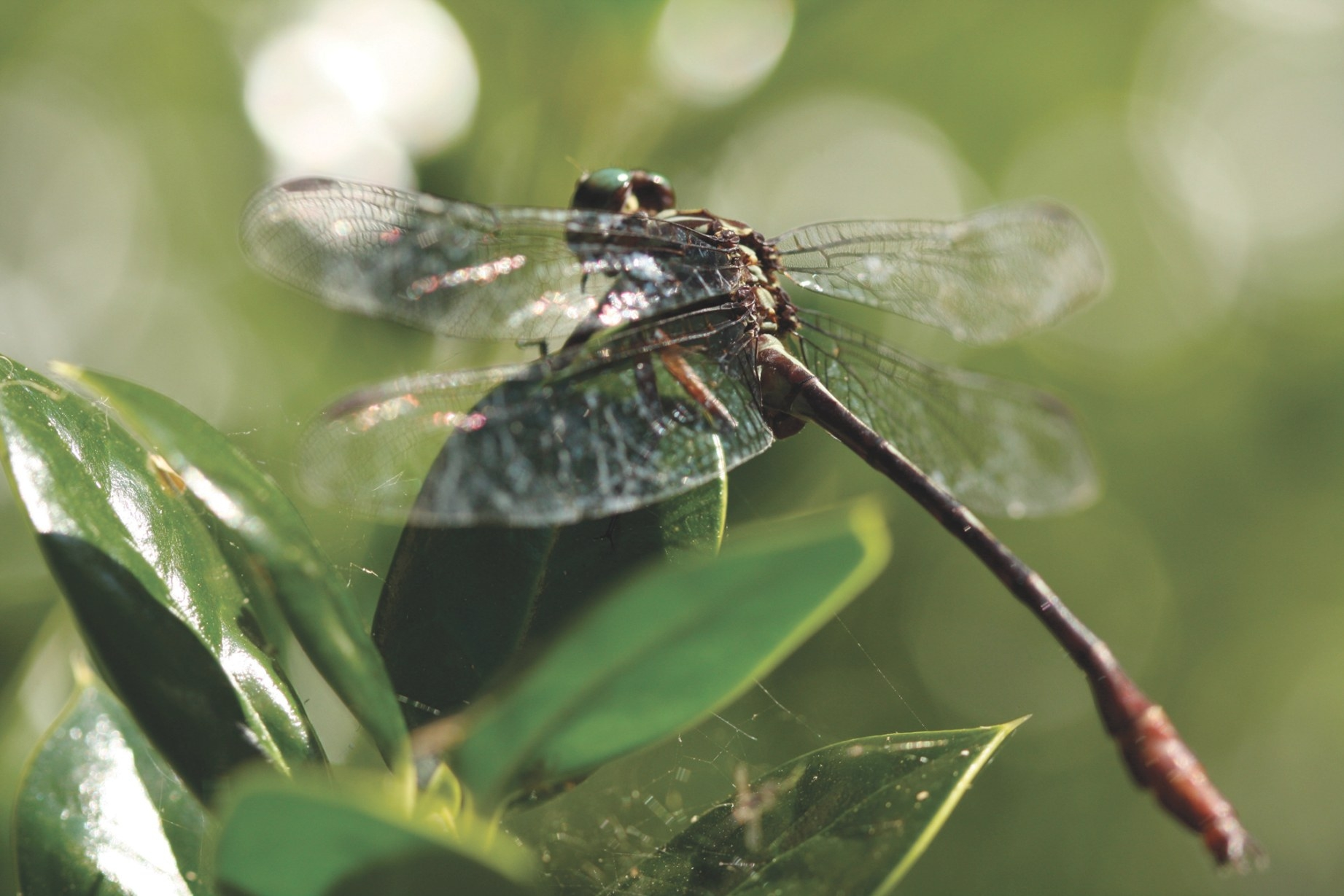 Dragonflies - Facts, Identification & Dragonfly Control with What Do Dragonflies Eat