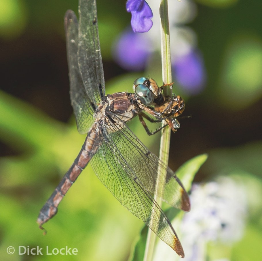 Dragonflies Gotta Eat! inside What Do Dragonflies Eat