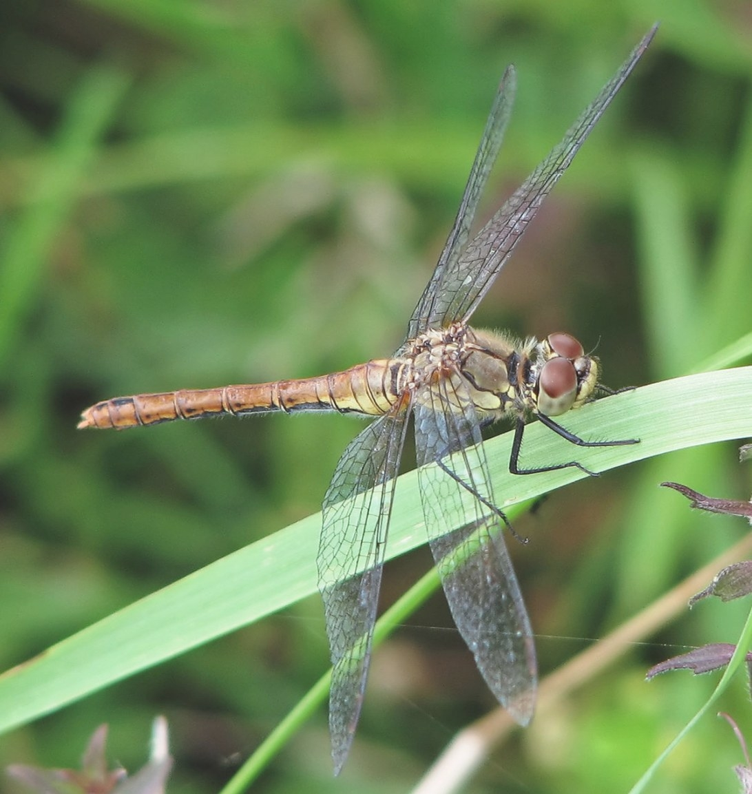 Dragonfly - Simple English Wikipedia, The Free Encyclopedia within What Do Dragonflies Eat