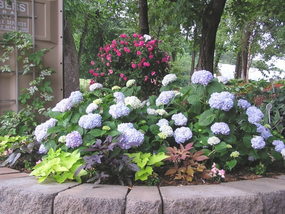 Endless Summer Hydrangea And More! - Knecht'S Nurseries throughout Should I Cover My Plants At 39 Degrees