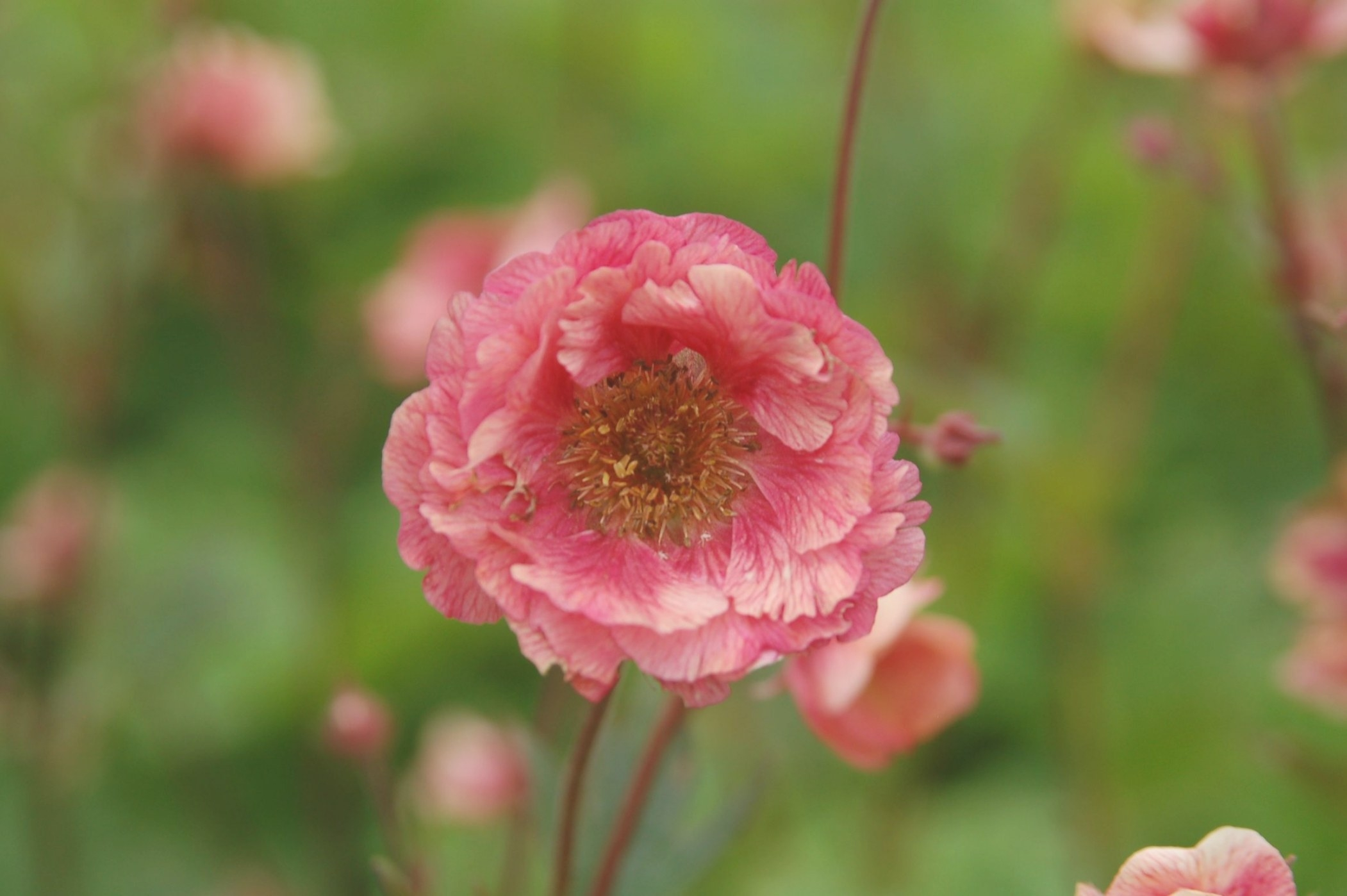 Geum X 'Cherry Bomb' Ppaf | Red Petals, Cherry Bomb, Plant for Fair Bianca Rose For Sale In Usa
