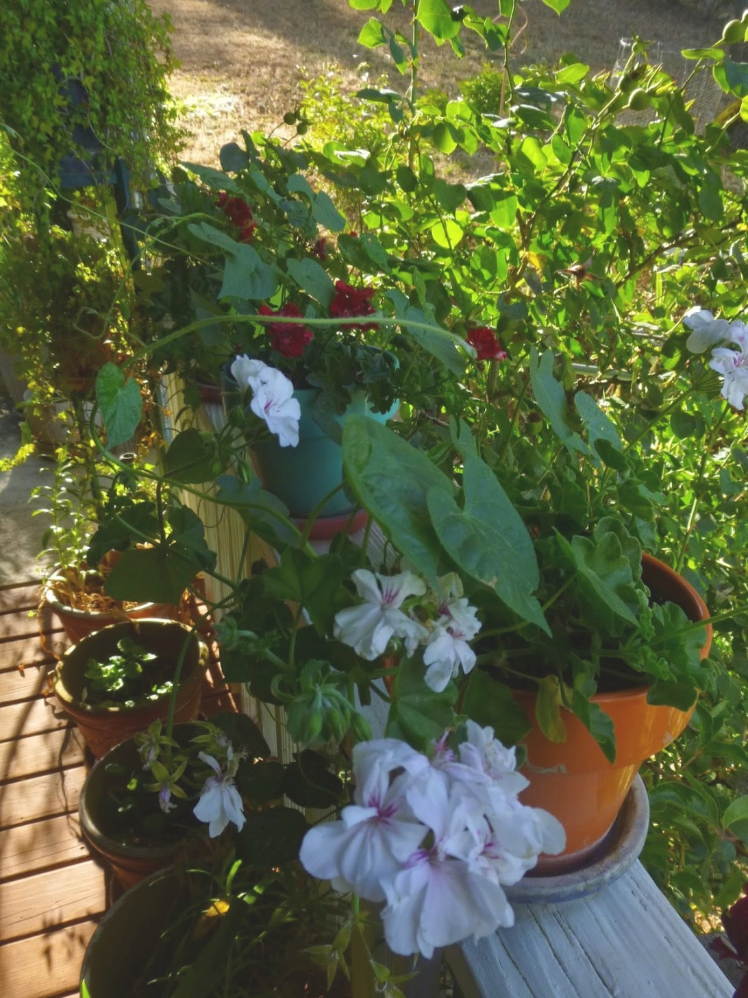 Gold Country Girls: Enjoying Geraniums in Do Deer Eat Geraniums