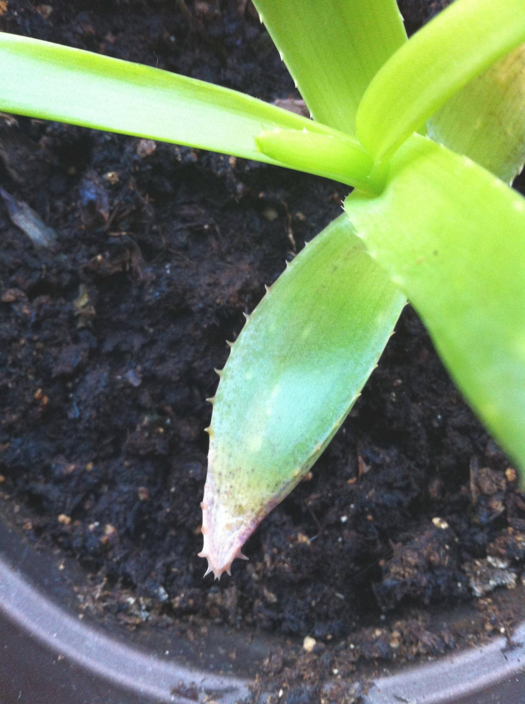 Houseplants - Pest, Etiolation, Soil Or Overwatering with regard to Aloe Plant Turning Brown