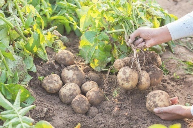 How Long Do Potatoes Take To Grow: What You Need To Know? pertaining to How Long Does It Take For A Tree To Grow