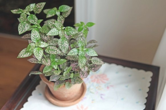 How To Care For A Polka Dot Plant | Hunker with regard to 20-20-20 Fertilizer