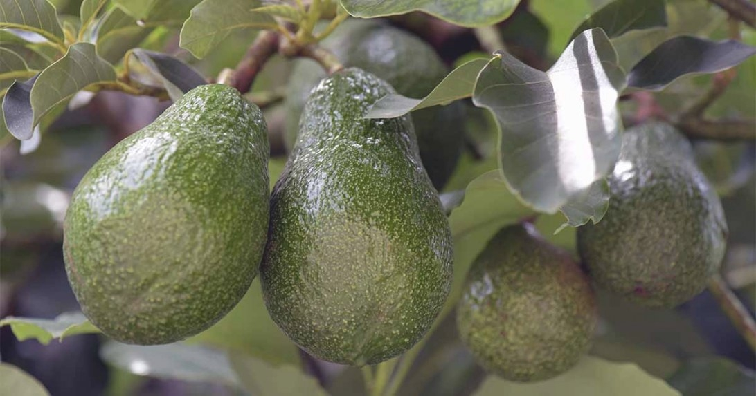 How To Grow Avocados | Gardener's Path intended for How Long Does It Take For A Tree To Grow