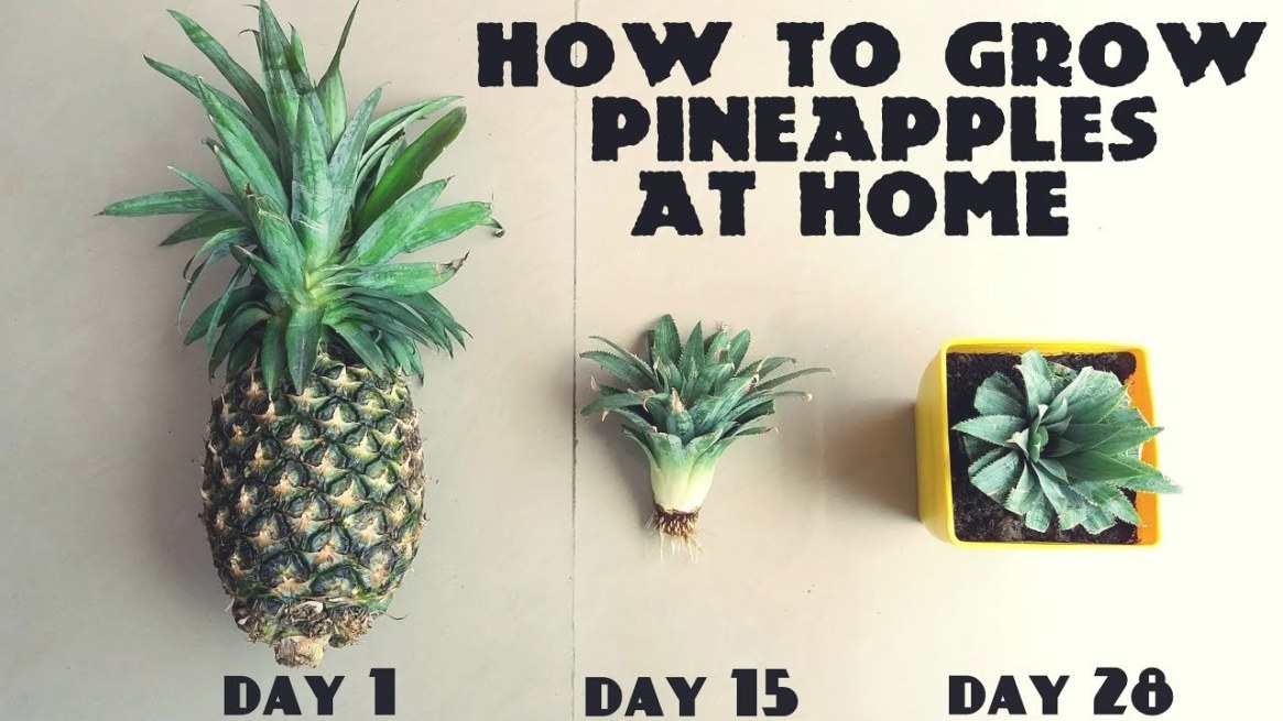 How To Grow Pineapples At Home Fast N Easy - Youtube pertaining to How Long Does It Take For A Tree To Grow