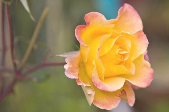 How To Make Roses Bloom With Banana And Coffee Grounds in Coffee Grounds For Roses