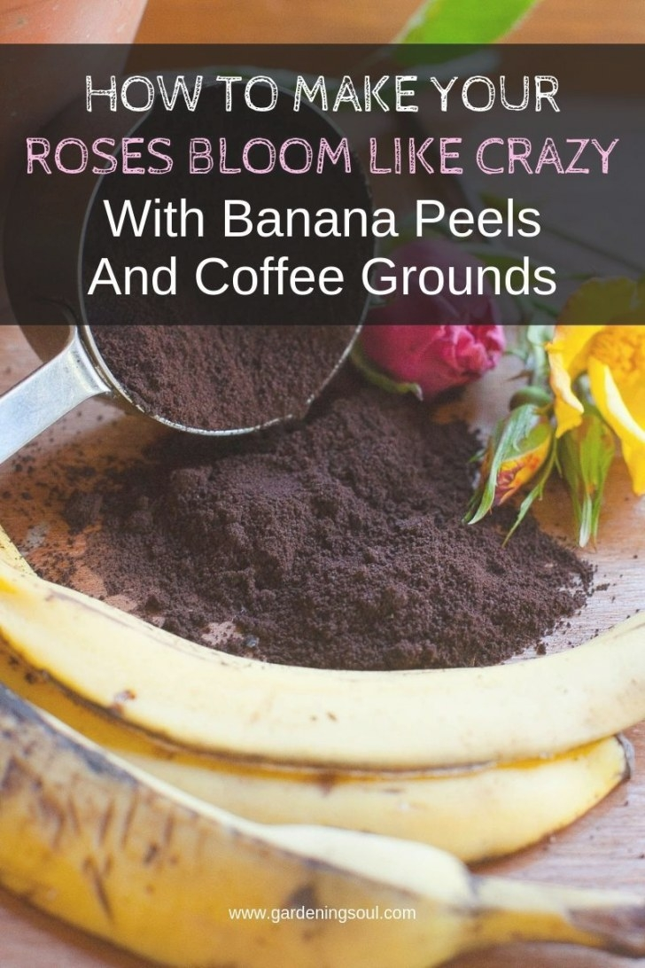 How To Make Your Roses Bloom Like Crazy With Banana Peels in Coffee Grounds For Roses