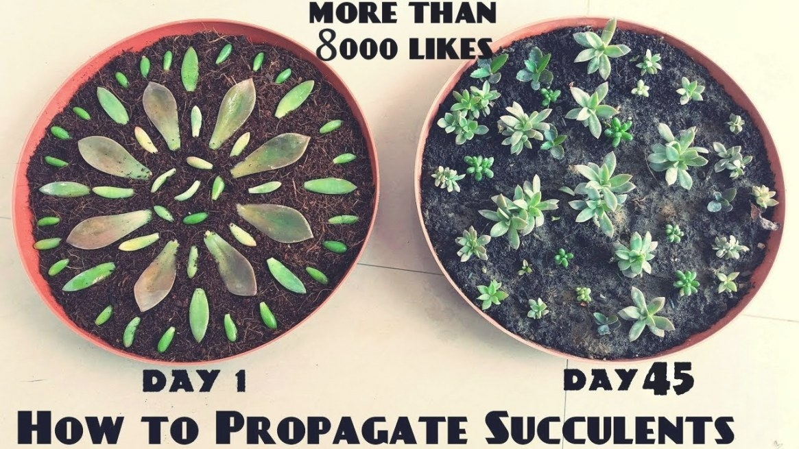 How To Propagate Succulents Fast N Easy - Youtube with How Long Does It Take For A Tree To Grow