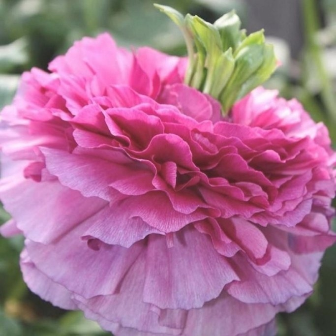 Italian Ranunculus Elegance Rosa Festival | Bulb Flowers regarding Fair Bianca Rose For Sale In Usa