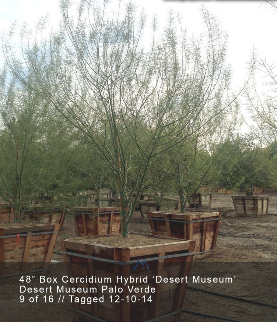 La City Market Trees | Element Wholesale, Llc within Desert Museum Palo Verde