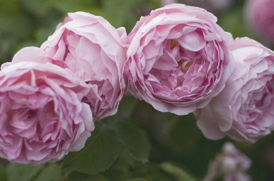 Lush English Roses For Your Garden inside Fair Bianca Rose For Sale In Usa