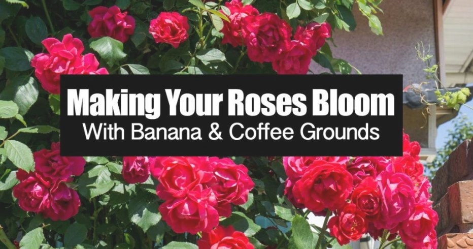 Making Your Roses Bloom With Banana & Coffee Grounds with Coffee Grounds For Roses