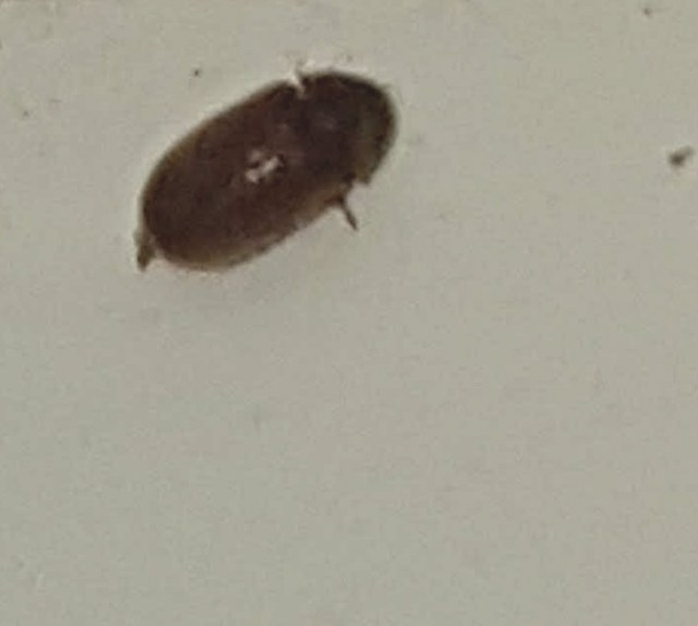 Natureplus: Please Help Id These Small Black Flying Bugs regarding Little Black Beetles In Kitchen