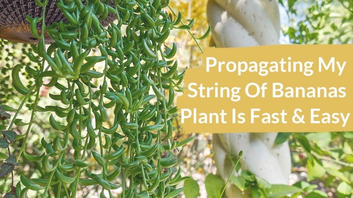 Propagating A String Of Bananas Plant Is Fast & Easy / Joy pertaining to String Of Bananas Plant
