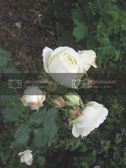 Qualche Fiore | Forum Di Giardinaggio.it pertaining to Fair Bianca Rose For Sale In Usa