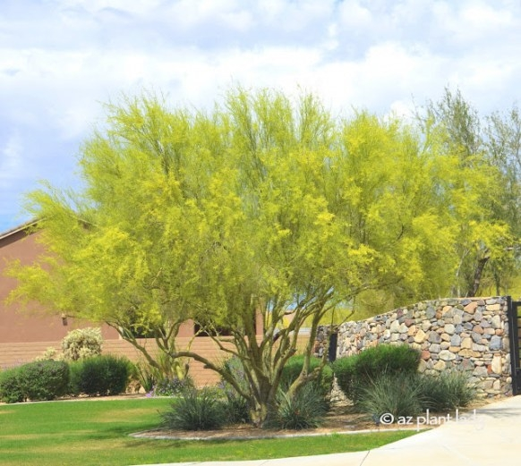 Ramblings From A Desert Garden.: Iconic Desert Tree regarding Desert Museum Palo Verde