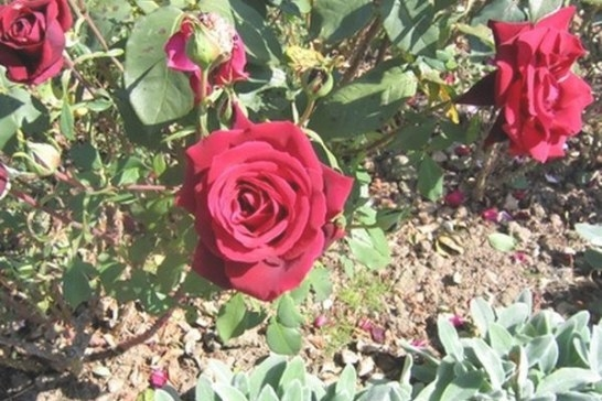Rose Bushes Benefit From The Worms Attracted To Coffee pertaining to Coffee Grounds For Roses