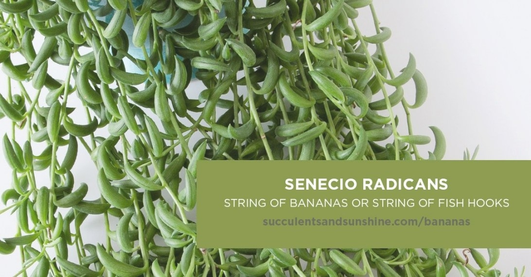 "Senecio Radicans ""String Of Bananas"" 