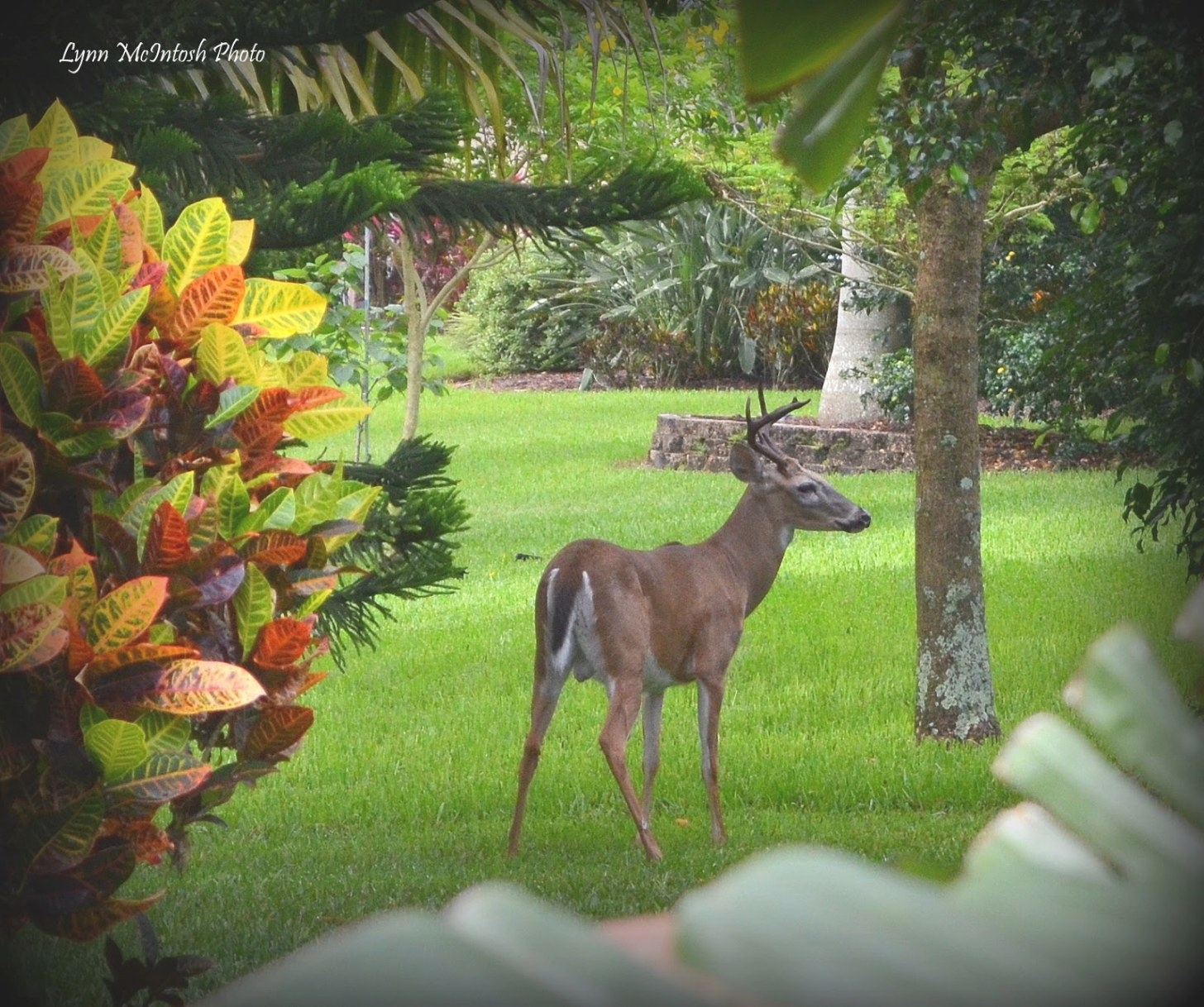 Southwest Florida Gardener: Oh Deer! inside Do Deer Eat Geraniums