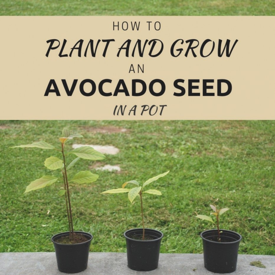 The Easiest Way To Plant And Grow An Avocado Seed In Soil pertaining to How Long Does It Take For A Tree To Grow
