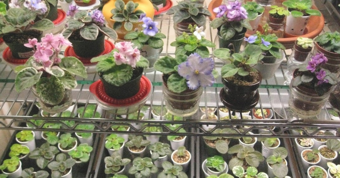Thou Shalt (Try Very Hard) Not To Kill {African Violets regarding 20-20-20 Fertilizer