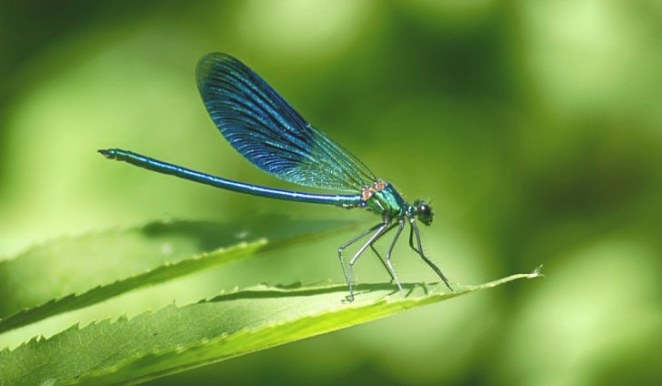 What Do Dragonflies Eat? - Worldatlas throughout What Do Dragonflies Eat