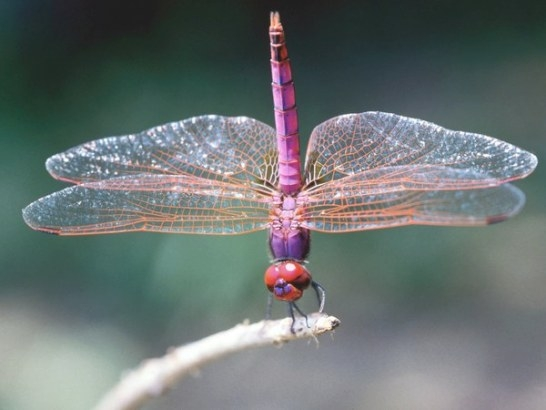 What Types Of Dragonflies Eat Gnats? | Animals - Mom regarding What Do Dragonflies Eat