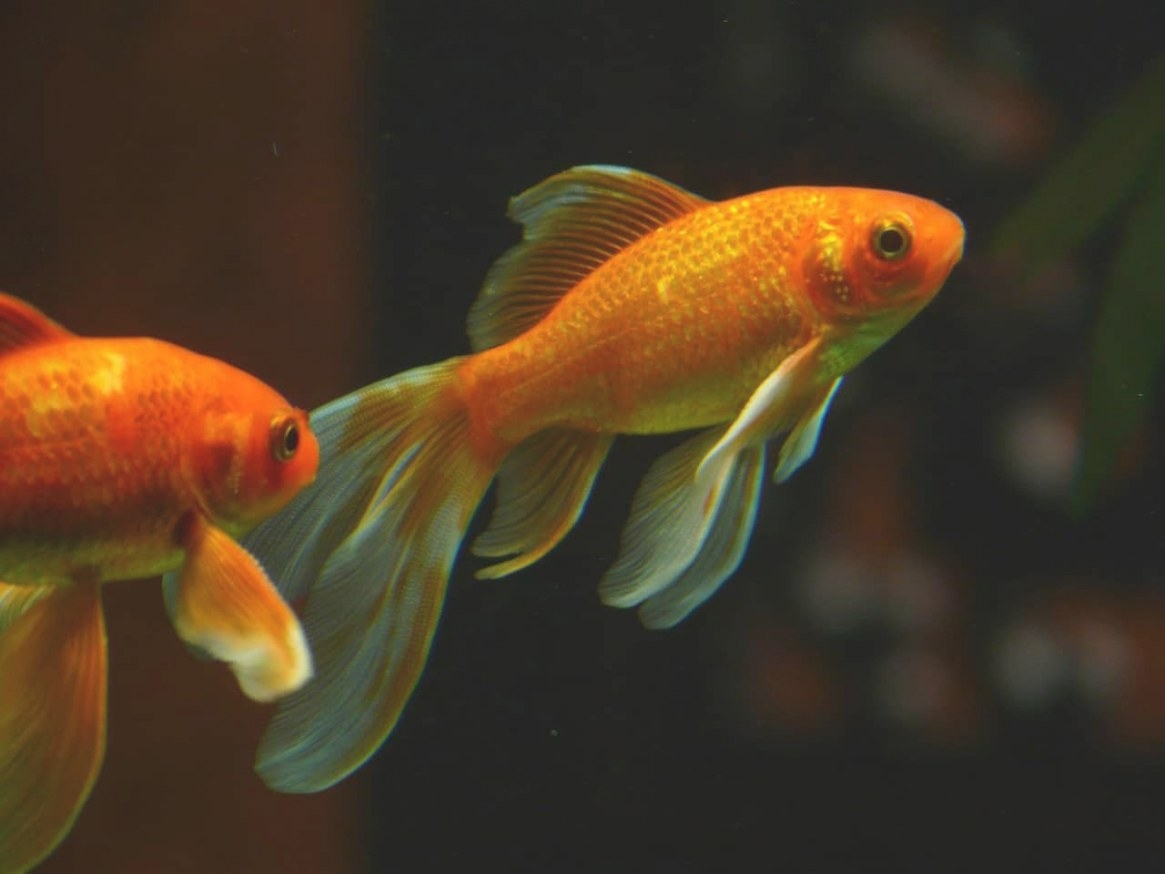 What's The Lifespan Of A Goldfish? You Won't Believe It! intended for How Long Do Goldfish Live