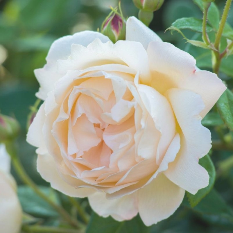 Wollerton Old Hall - Fragrant English Roses - English in Fair Bianca Rose For Sale In Usa